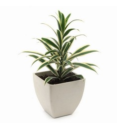 Exotic Green Song Of India Plant With White Fiber Pot