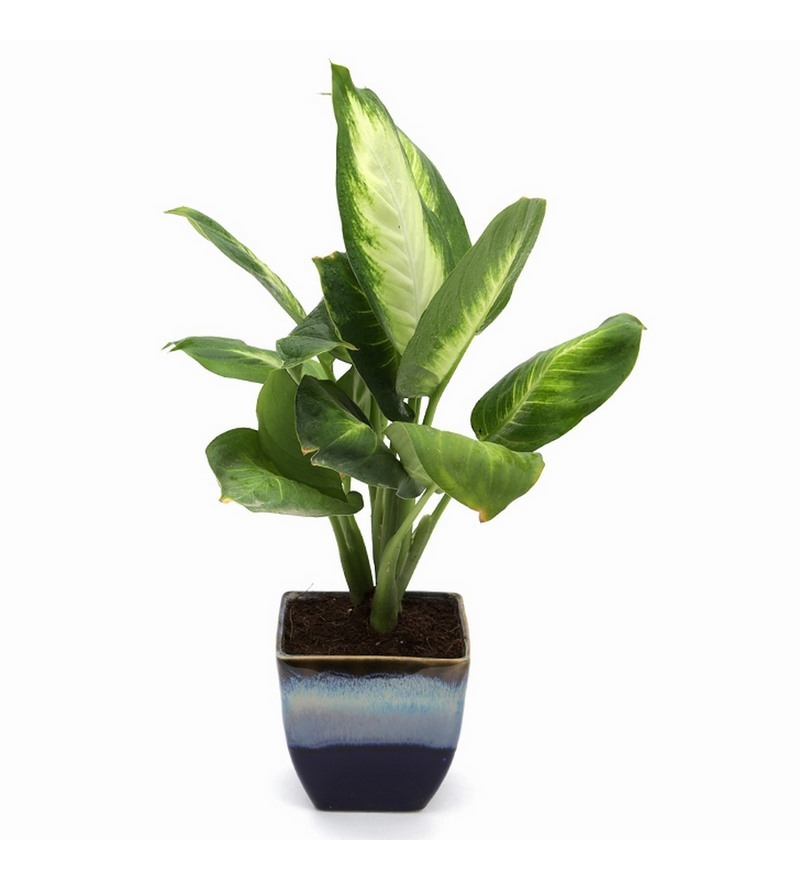 Buy Exotic Green Dieffenbachia Small Indoor Plant In Ocean