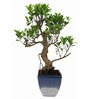 Exotic Green Ficus Bonsai Plant with Marble Blue Ceramic Pot