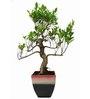 Exotic Green S-Shaped Ficus Bonsai Plant with Rainbow Black Ceramic Pot