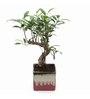 Exotic Green S-Shape Ficus Bonsai Plant with Purple Ceramic Pot