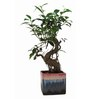 Exotic Green S-Shaped Ficus Bonsai Plant with Black Ceramic Pot