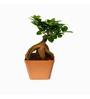 Exotic Green Ficus Bonsai Plant with Brown Fibre Pot