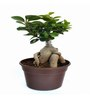 Exotic Green Ficus Bonsai Plant with Dark Brown Fibre Pot