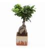 Exotic Green Ficus Bonsai Plant with German Brown Ceramic Pot