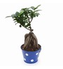 Exotic Green Ficus Bonsai Plant with Blue Metallic Pot