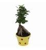 Exotic Green Ficus Bonsai Plant with Yellow Metallic Pot
