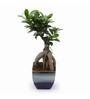 Exotic Green Ficus Bonsai Plant with Ocean Blue Ceramic Pot