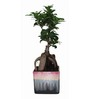 Exotic Green Ficus Bonsai Plant with Rainbow Black Ceramic Pot