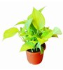 Exotic Green Plastic Golden Pothose Plant