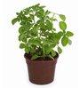 Exotic Green Fiber Ajwain Herb Plant