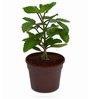 Exotic Green Fiber Patharchatta Herb Plant
