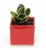 Exotic Green Milt Indoor Plant with Red Ceramic Pot
