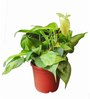 Exotic Green Plastic Money Plant Oxycodium