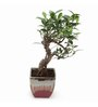 Exotic Green S-Shaped Ficus Bonsai Plant with English Brown Ceramic Pot