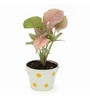 Exotic Green Syngonium Pink Indoor Plant In Metal White Pot