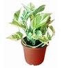 Exotic Green Plastic White Pothose Plant