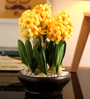 Fourwalls Yellow Hyacinth in Ceramic Vase