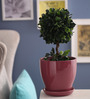 Gaia Pink Glazed Ceramic 7 x 7.5 Inch Table Top Planter with Plate