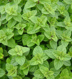 Greek Oregano Herb Seeds By Chhajed Garden