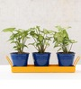 Green Gardenia Metal Table Top Dark Blue Pots with Yellow Tray