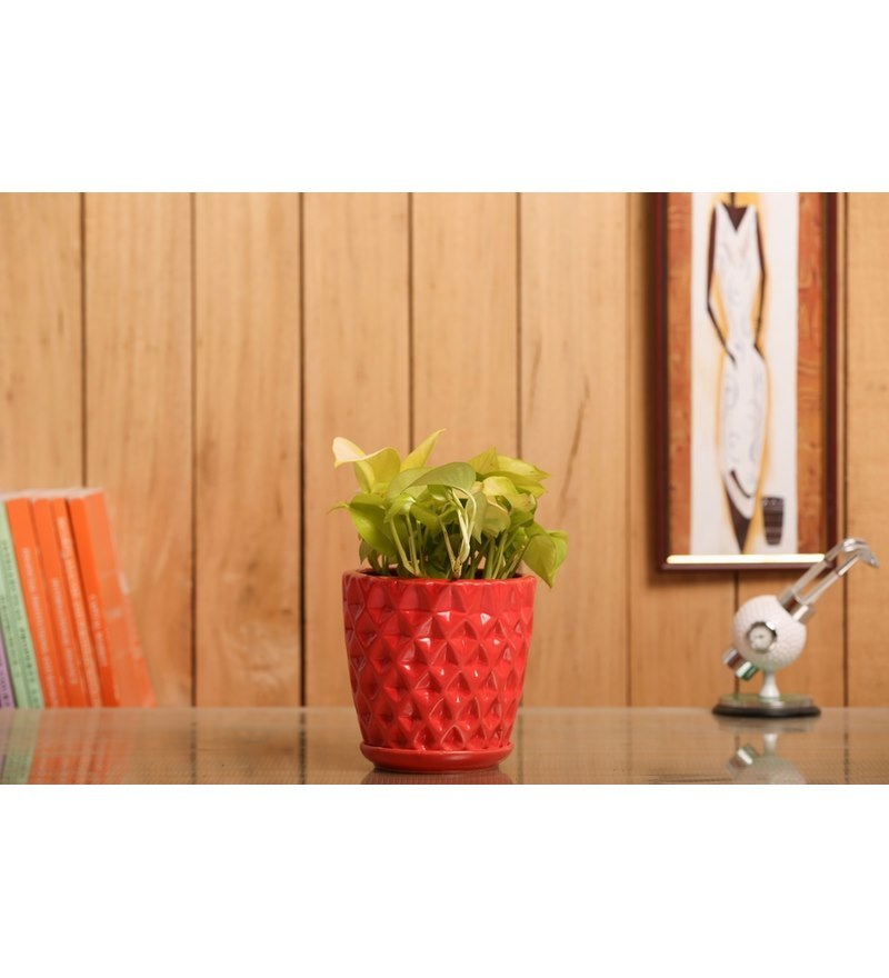 Nurturing Green Indoor Plant Golden Pothos Ceramic Pot Red