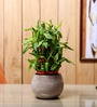 Nurturing Green Lucky Bamboo 3 Layer Plant & Ceramic Brown Pot