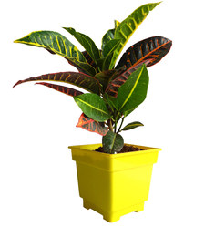 Rolling Nature Croton Petra In Yellow Square Pot