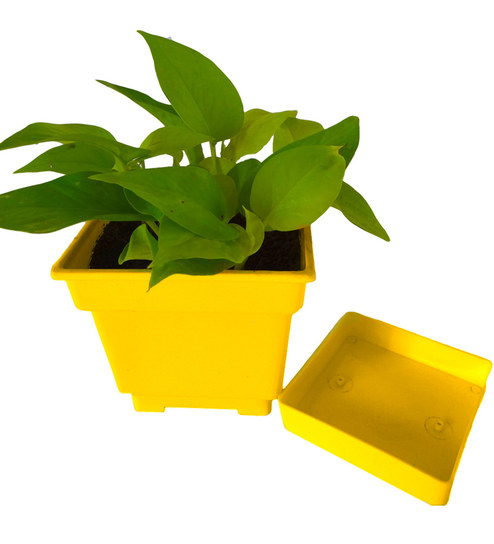 Rolling Nature Good Luck Golden Pothos In Yellow Square Colorista Pot