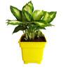 Rolling Nature Dieffenbachia Camilla in Yellow Square Pot