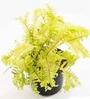 Rolling Nature Fern Gold Plant with Pot