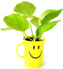 Rolling Nature Golden Pothos in Smiley Cup