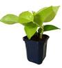 Rolling Nature Good Luck Golden Money Plant in Blue Hexa Pot