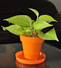Rolling Nature Good Luck Golden Money Plant in Orange Colorista Pot