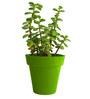 Rolling Nature Good Luck Jade Plant in Green Colorista Pot