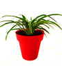 Rolling Nature Spider Plant in Red Colorista Plant