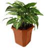 Rolling Nature Syngonium Green in Brown Hexa Pot