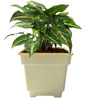 Rolling Nature Syngonium Green in White Square Pot