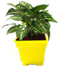 Rolling Nature Syngonium Green in Yellow Square Pot