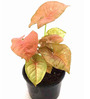 Rolling Nature Syngonium Pink Plant