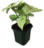 Rolling Nature Syngonium White in Black Hexa Pot