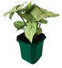Rolling Nature Syngonium White in Green Hexa Pot