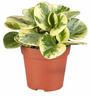 Rolling Nature Variegated Peperomia Plant