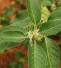 Seedlings India Ashwagandha Seeds
