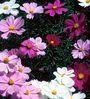 Seedlings India Cosmos Dwarf Sensation Mixed Hybrid Seeds
