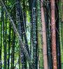 Seedlings India Katanga Bamboo Seeds