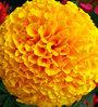 Seedlings India Marigold Flower Seeds