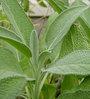 Seedlings India Sage Herb Seeds