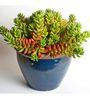 Seedlings India Succulents Sedum Rubrotinctum Pork And Beans (Small)