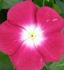 Seedlings India Vinca Burgundi Hybrid Seeds
